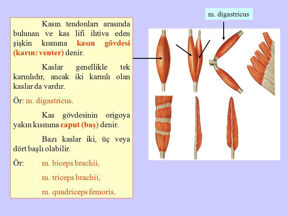 Kasın tendonları arasında bulunan ve kas lifi ihtiva eden şişkin kısmına kasın gövdesi (karın: venter) denir. Kaslar genellikle tek karınlıdır, ancak