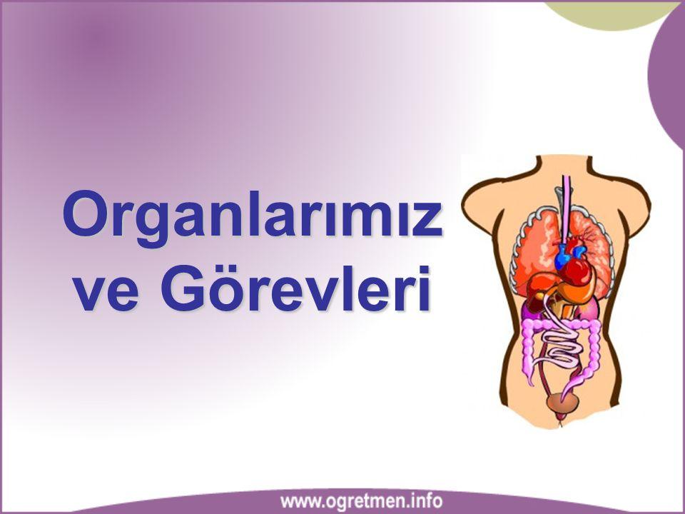 Gövdemizde bulunan organlar: 1-Kalp 2-Akciğer 2-Akciğer 3-Mide 5-Bağırsaklar 4-Karaciğer