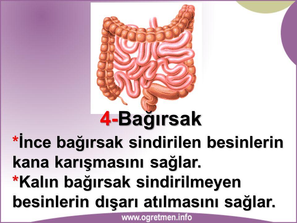 4-Bağırsak *İnce bağırsak sindirilen besinlerin kana karışmasını sağlar. *Kalın bağırsak sindirilmeyen besinlerin dışarı atılmasını sağlar.
