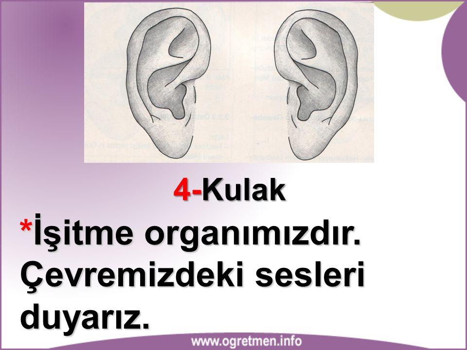 4-Kulak *İşitme organımızdır. Çevremizdeki sesleri duyarız.