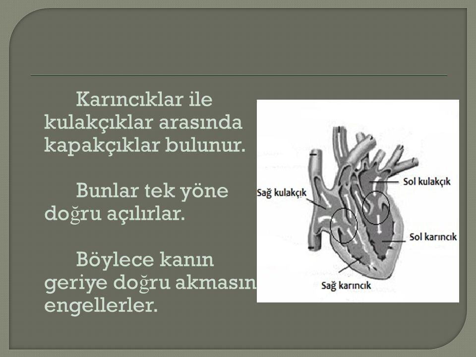 Karıncıklar ile kulakçıklar arasında kapakçıklar bulunur. Bunlar tek yöne do ğ ru açılırlar. Böylece kanın geriye do ğ ru akmasını engellerler.