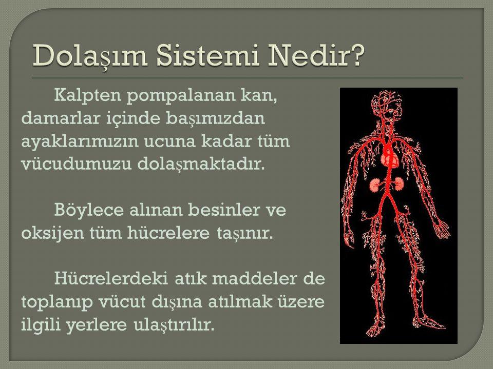 Kalpten pompalanan kan, damarlar içinde ba ş ımızdan ayaklarımızın ucuna kadar tüm vücudumuzu dola ş maktadır.