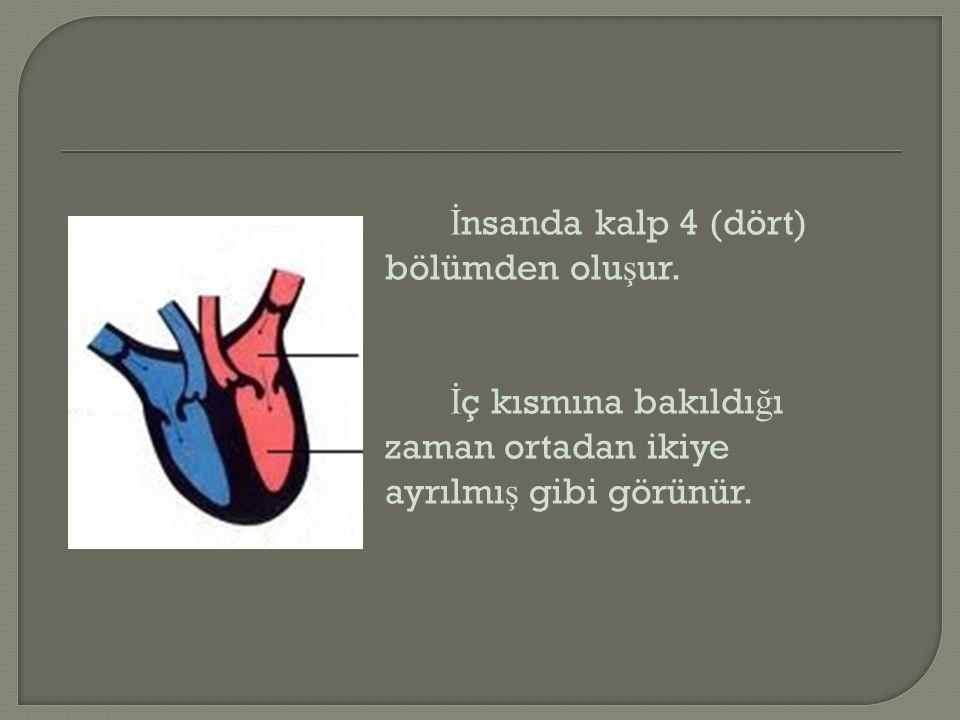 İ nsanda kalp 4 (dört) bölümden olu ş ur. İ ç kısmına bakıldı ğ ı zaman ortadan ikiye ayrılmı ş gibi görünür.