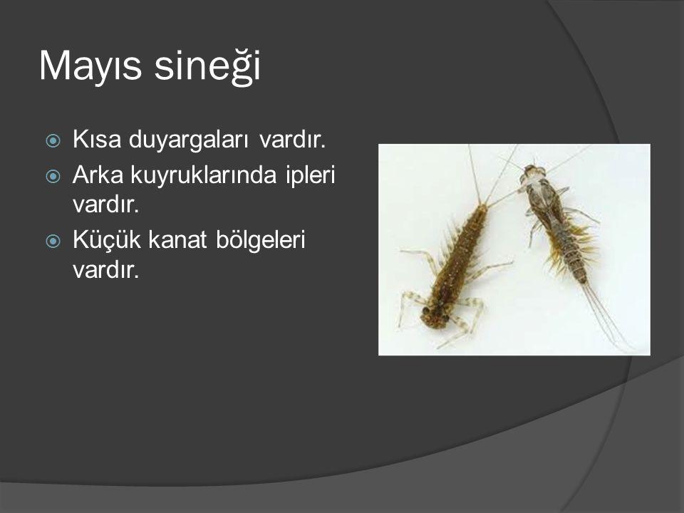 Mayıs sineği  Kısa duyargaları vardır. Arka kuyruklarında ipleri vardır.