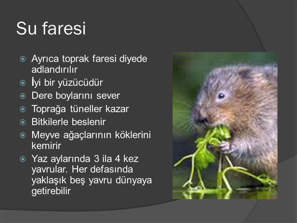 Su faresi  Ayrıca toprak faresi diyede adlandırılır  İyi bir yüzücüdür  Dere boylarını sever  Toprağa tüneller kazar  Bitkilerle beslenir  Meyve ağaçlarının köklerini kemirir  Yaz aylarında 3 ila 4 kez yavrular.