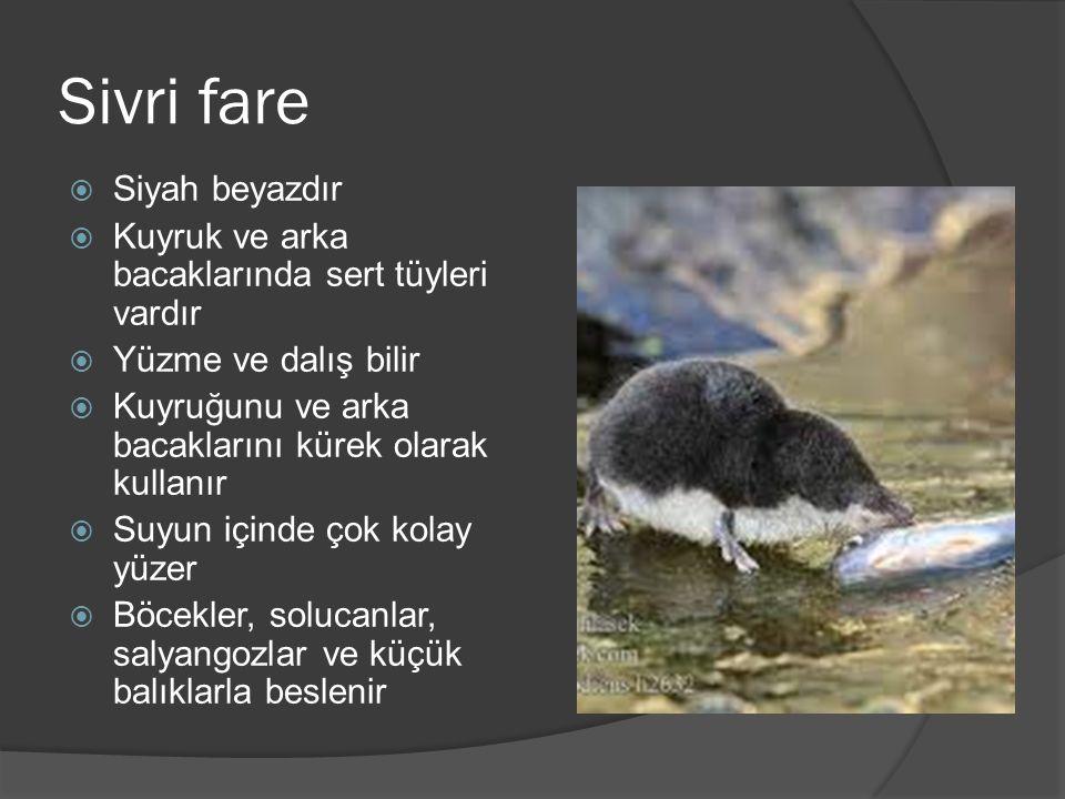 Sivri fare  Siyah beyazdır  Kuyruk ve arka bacaklarında sert tüyleri vardır  Yüzme ve dalış bilir  Kuyruğunu ve arka bacaklarını kürek olarak kullanır  Suyun içinde çok kolay yüzer  Böcekler, solucanlar, salyangozlar ve küçük balıklarla beslenir