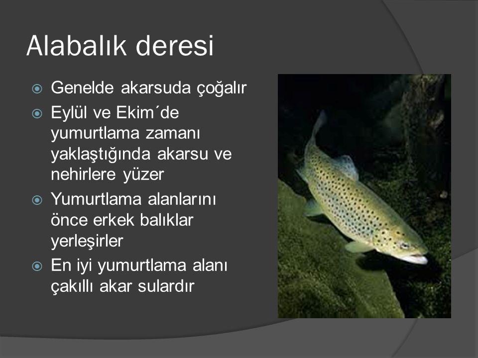 Alabalık deresi  Genelde akarsuda çoğalır  Eylül ve Ekim´de yumurtlama zamanı yaklaştığında akarsu ve nehirlere yüzer  Yumurtlama alanlarını önce erkek balıklar yerleşirler  En iyi yumurtlama alanı çakıllı akar sulardır