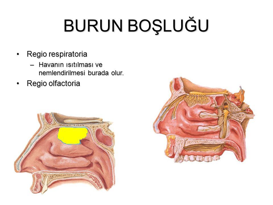 BURUN BOŞLUĞU Regio respiratoriaRegio respiratoria –Havanın ısıtılması ve nemlendirilmesi burada olur. Regio olfactoriaRegio olfactoria