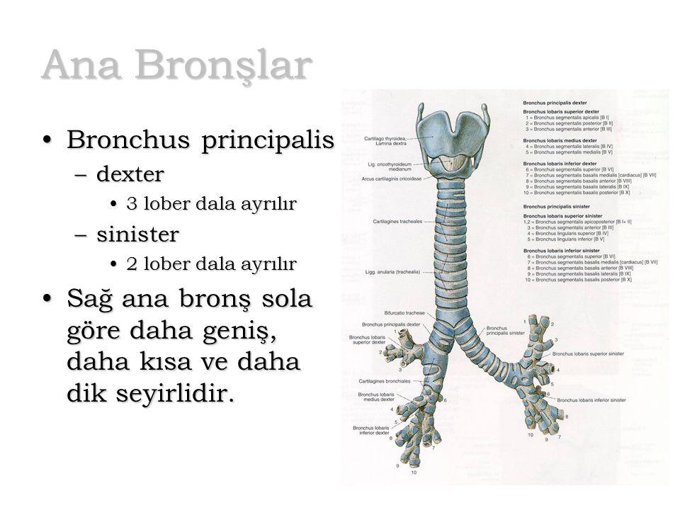 Ana Bronşlar Bronchus principalisBronchus principalis –dexter 3 lober dala ayrılır3 lober dala ayrılır –sinister 2 lober dala ayrılır2 lober dala ayrı