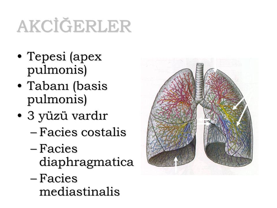 AKCİĞERLER Tepesi (apex pulmonis)Tepesi (apex pulmonis) Tabanı (basis pulmonis)Tabanı (basis pulmonis) 3 yüzü vardır3 yüzü vardır –Facies costalis –Fa