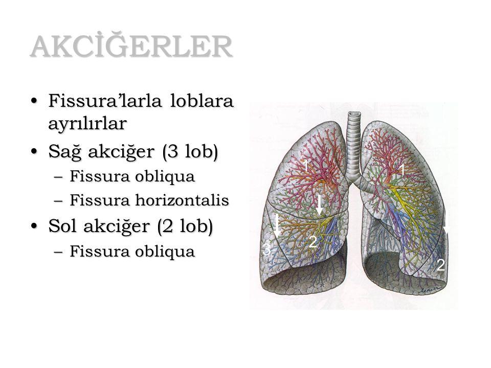 AKCİĞERLER Fissura'larla loblara ayrılırlarFissura'larla loblara ayrılırlar Sağ akciğer (3 lob)Sağ akciğer (3 lob) –Fissura obliqua –Fissura horizonta