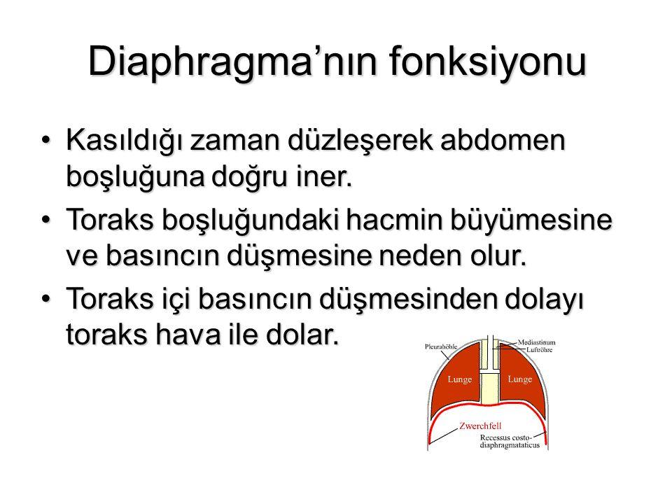 Diaphragma'nın fonksiyonu Kasıldığı zaman düzleşerek abdomen boşluğuna doğru iner.Kasıldığı zaman düzleşerek abdomen boşluğuna doğru iner. Toraks boşl