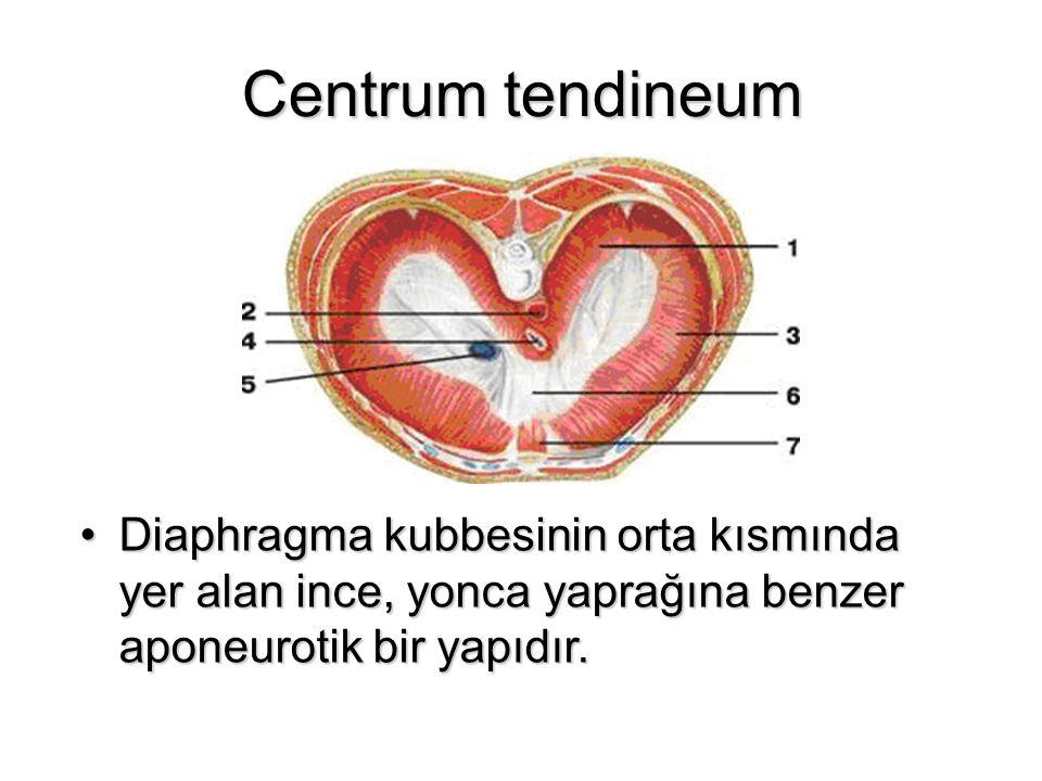 Centrum tendineum Diaphragma kubbesinin orta kısmında yer alan ince, yonca yaprağına benzer aponeurotik bir yapıdır.Diaphragma kubbesinin orta kısmınd