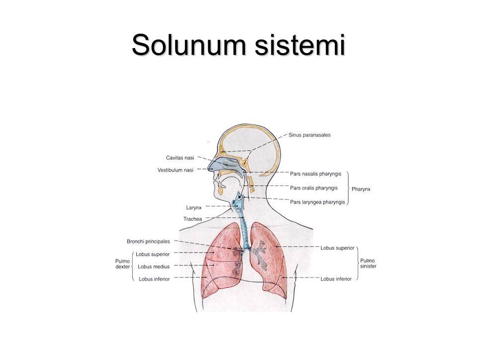 BURUN (nasus) Solunum ve koku organıdır.Solunum ve koku organıdır.