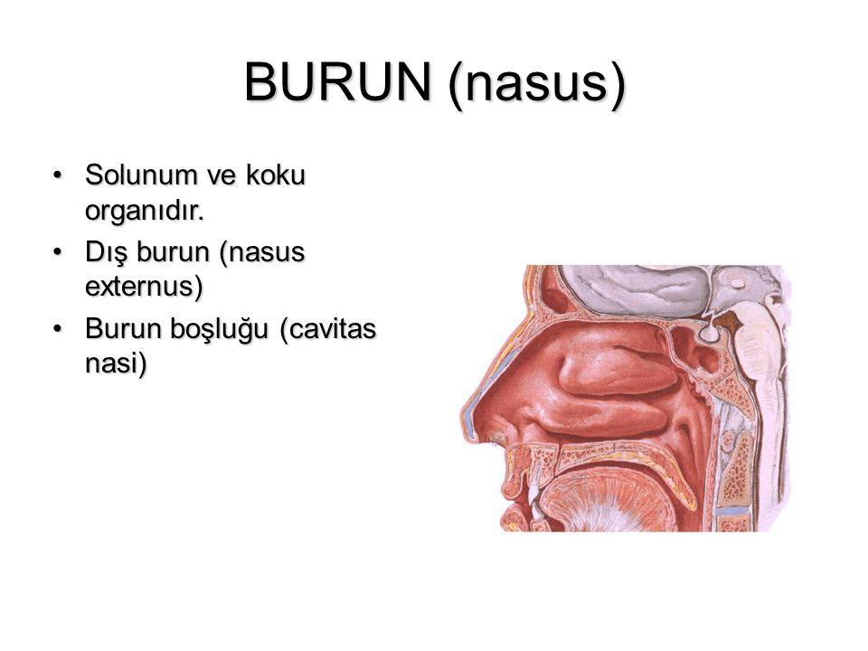 BURUN (nasus) Solunum ve koku organıdır.Solunum ve koku organıdır. Dış burun (nasus externus)Dış burun (nasus externus) Burun boşluğu (cavitas nasi)Bu