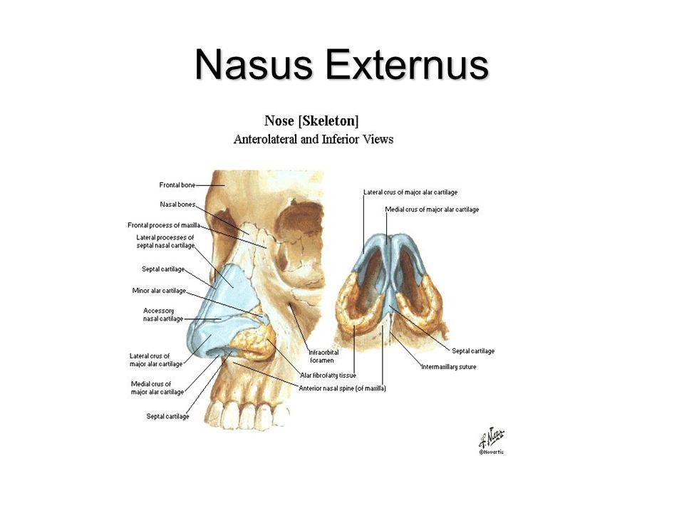 BURUN BOŞLUĞU (Cavitas Nasi) Nares yolu ile dış ortamlaNares yolu ile dış ortamla Choana yoluyla nasopharynx ile bağlanır.Choana yoluyla nasopharynx ile bağlanır.