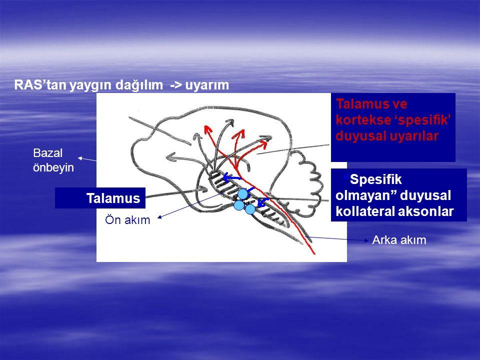 """Talamus RAS'tan yaygın dağılım -> uyarım Talamus ve kortekse 'spesifik' duyusal uyarılar """"Spesifik olmayan"""" duyusal kollateral aksonlar Arka akım Ön a"""