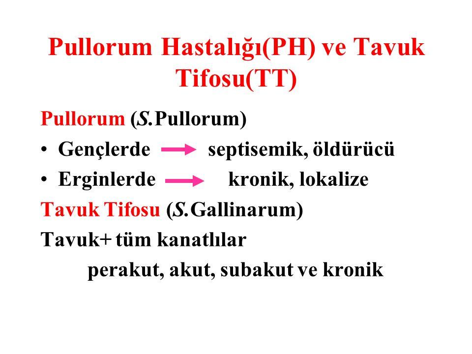 Pullorum Hastalığı(PH) ve Tavuk Tifosu(TT) Pullorum (S.Pullorum) Gençlerde septisemik, öldürücü Erginlerde kronik, lokalize Tavuk Tifosu (S.Gallinarum