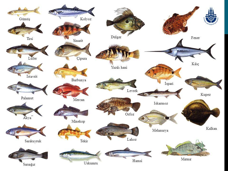 AKYA Lichia amia (Linnaeus, 1758) M: Kuzu, Çıplak, Leka, İskender Balığı İ: Leerfish A: Gabelmakrele F: Caranga  Genel Özellikleri:Vücudu derin ve yanlardan basıktır.