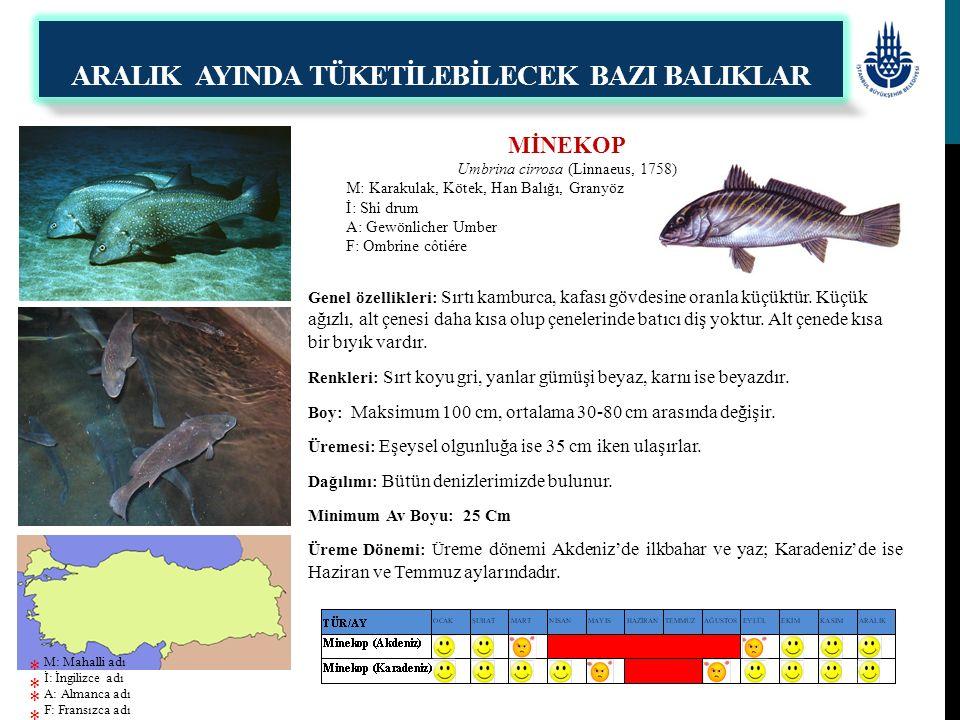 MİNEKOP Umbrina cirrosa (Linnaeus, 1758) M: Karakulak, Kötek, Han Balığı, Granyöz İ: Shi drum A: Gewönlicher Umber F: Ombrine côtiére Genel özellikler