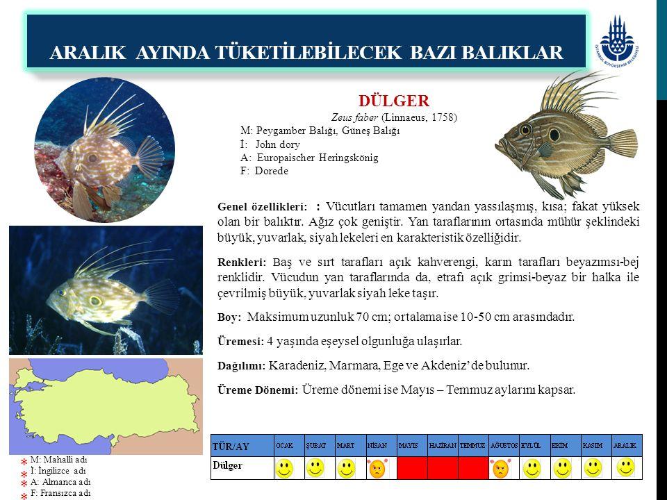 DÜLGER Zeus faber (Linnaeus, 1758) M: Peygamber Balığı, Güneş Balığı İ: John dory A: Europaischer Heringskönig F: Dorede Genel özellikleri: : Vücutlar