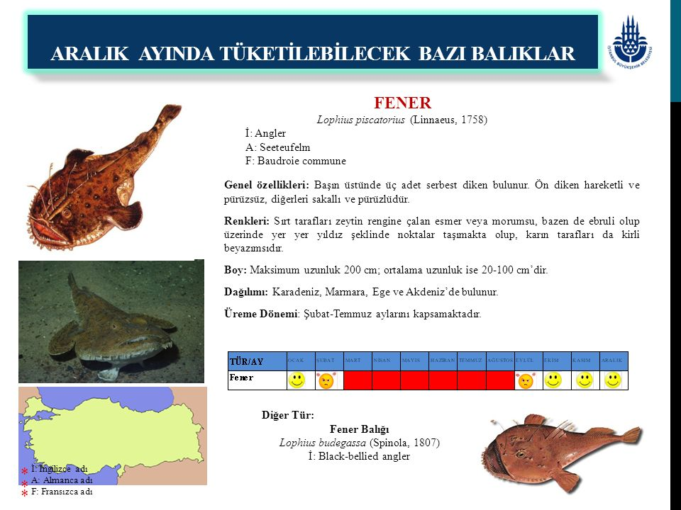 FENER Lophius piscatorius (Linnaeus, 1758) İ: Angler A: Seeteufelm F: Baudroie commune Genel özellikleri: Başın üstünde üç adet serbest diken bulunur.