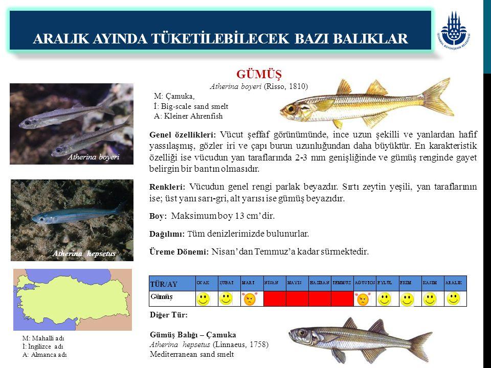 GÜMÜŞ Atherina boyeri (Risso, 1810) M: Çamuka, İ: Big-scale sand smelt A: Kleiner Ahrenfish ARALIK AYINDA TÜKETİLEBİLECEK BAZI BALIKLAR Genel özellikl