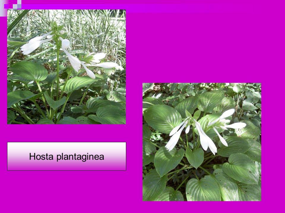 Hosta plantaginea