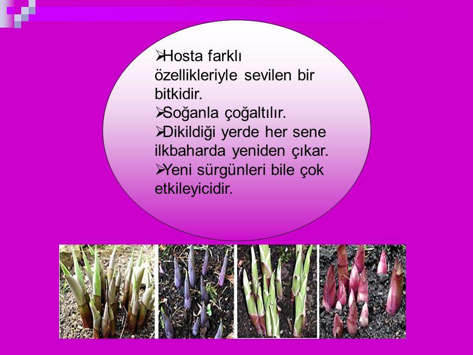  Hosta farklı özellikleriyle sevilen bir bitkidir.  Soğanla çoğaltılır.  Dikildiği yerde her sene ilkbaharda yeniden çıkar.  Yeni sürgünleri bile