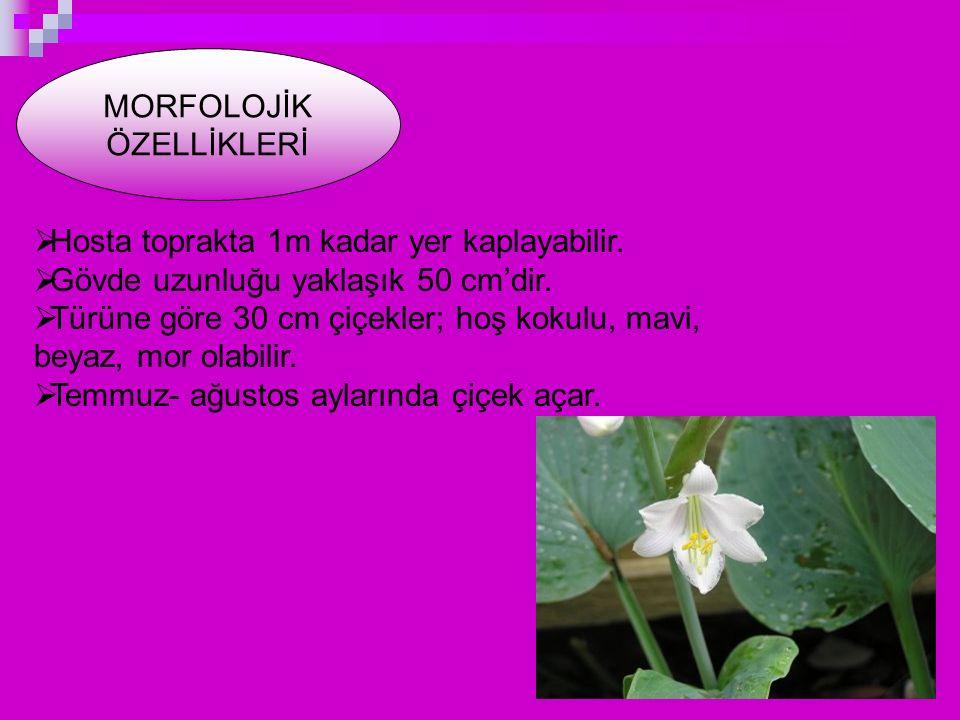 MORFOLOJİK ÖZELLİKLERİ  Hosta toprakta 1m kadar yer kaplayabilir.  Gövde uzunluğu yaklaşık 50 cm'dir.  Türüne göre 30 cm çiçekler; hoş kokulu, mavi