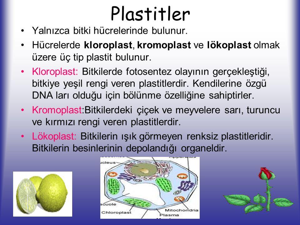 Plastitler Yalnızca bitki hücrelerinde bulunur. Hücrelerde kloroplast, kromoplast ve lökoplast olmak üzere üç tip plastit bulunur. Kloroplast: Bitkile