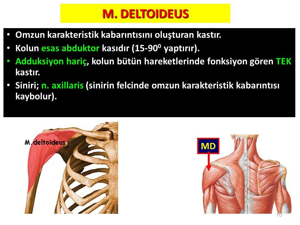 M. DELTOIDEUS Omzun karakteristik kabarıntısını oluşturan kastır. Kolun esas abduktor kasıdır (15-90 0 yaptırır). Adduksiyon hariç, kolun bütün hareke