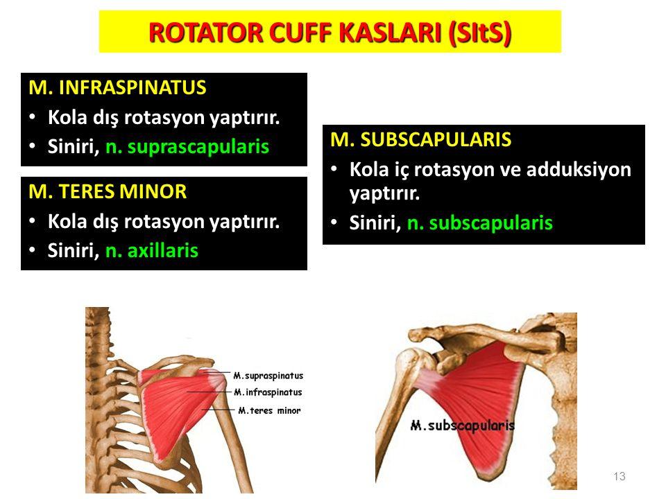 M. INFRASPINATUS Kola dış rotasyon yaptırır. Siniri, n. suprascapularis 13 ROTATOR CUFF KASLARI (SItS) M. TERES MINOR Kola dış rotasyon yaptırır. Sini