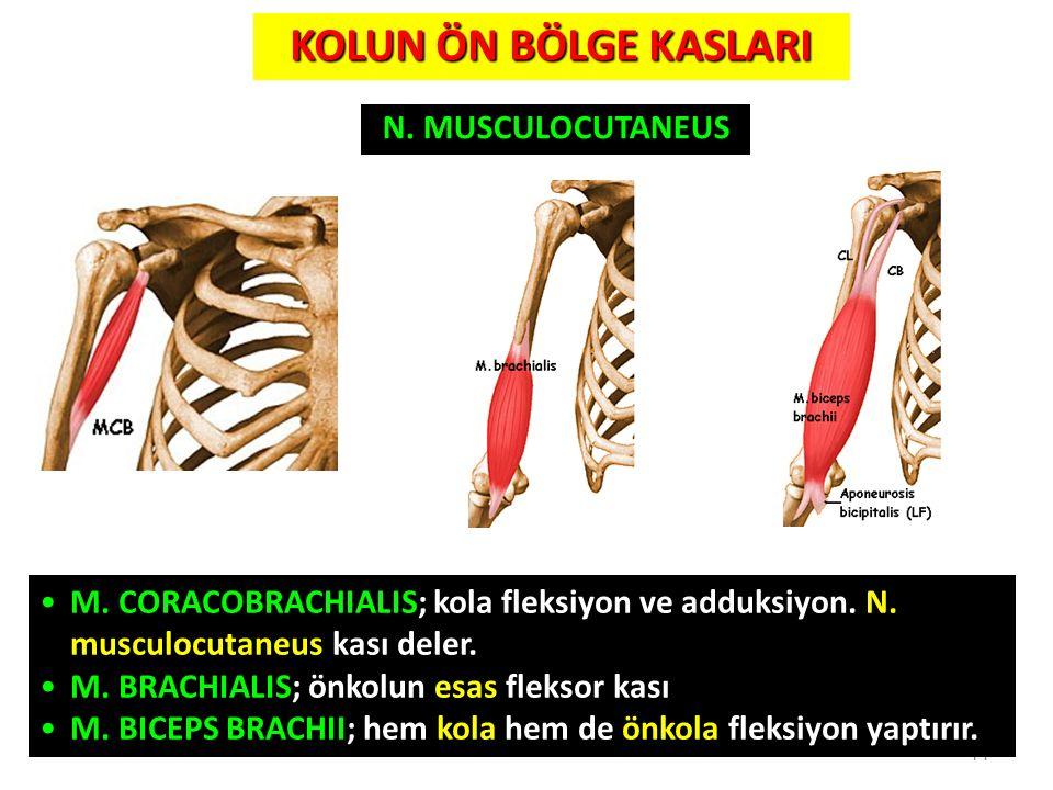 14 KOLUN ÖN BÖLGE KASLARI N. MUSCULOCUTANEUS M. CORACOBRACHIALIS; kola fleksiyon ve adduksiyon. N. musculocutaneus kası deler. M. BRACHIALIS; önkolun