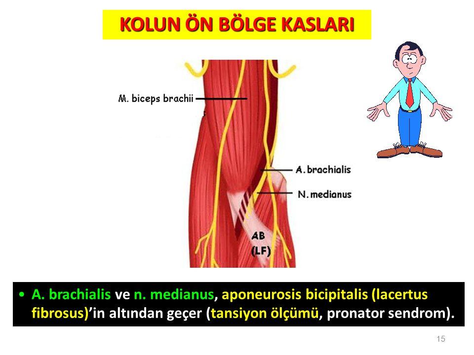 15 A. brachialis ve n. medianus, aponeurosis bicipitalis (lacertus fibrosus)'in altından geçer (tansiyon ölçümü, pronator sendrom). KOLUN ÖN BÖLGE KAS