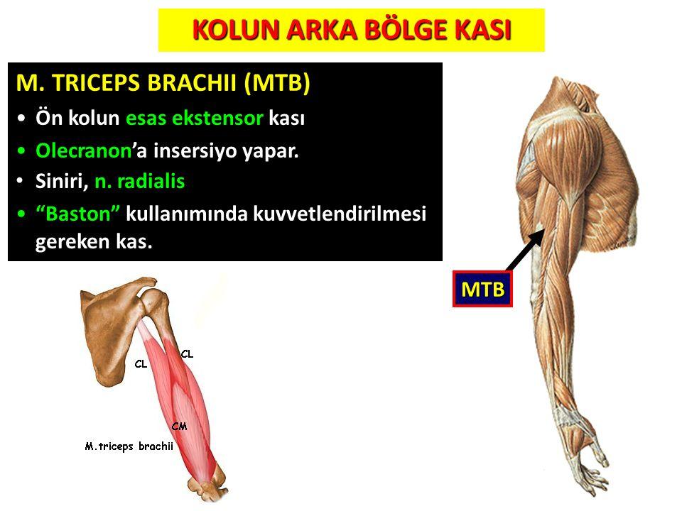 """M. TRICEPS BRACHII (MTB) Ön kolun esas ekstensor kası Olecranon'a insersiyo yapar. Siniri, n. radialis """"Baston"""" kullanımında kuvvetlendirilmesi gereke"""