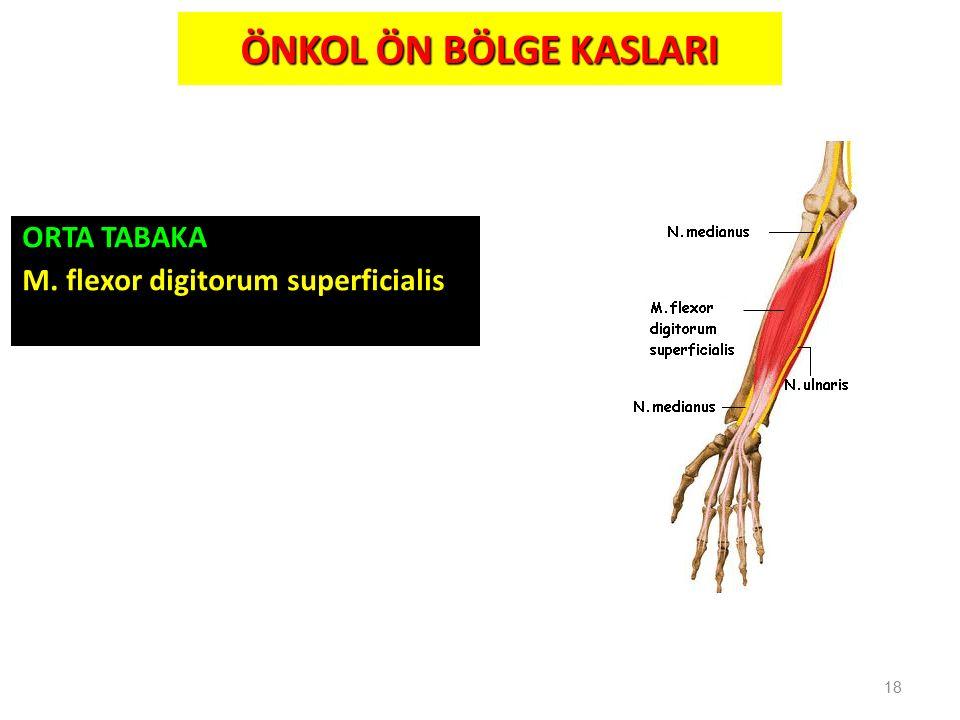 ÖNKOL ÖN BÖLGE KASLARI ORTA TABAKA M. flexor digitorum superficialis 18