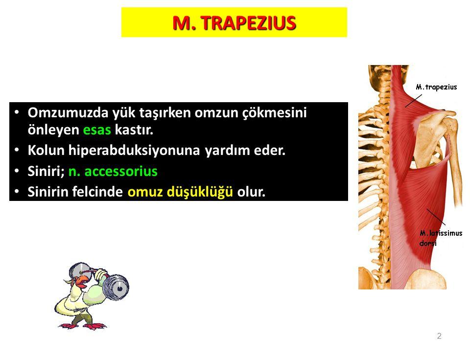 2 M. TRAPEZIUS Omzumuzda yük taşırken omzun çökmesini önleyen esas kastır. Kolun hiperabduksiyonuna yardım eder. Siniri; n. accessorius Sinirin felcin