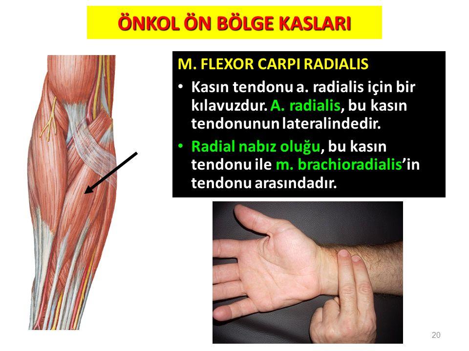 M. FLEXOR CARPI RADIALIS Kasın tendonu a. radialis için bir kılavuzdur. A. radialis, bu kasın tendonunun lateralindedir. Radial nabız oluğu, bu kasın
