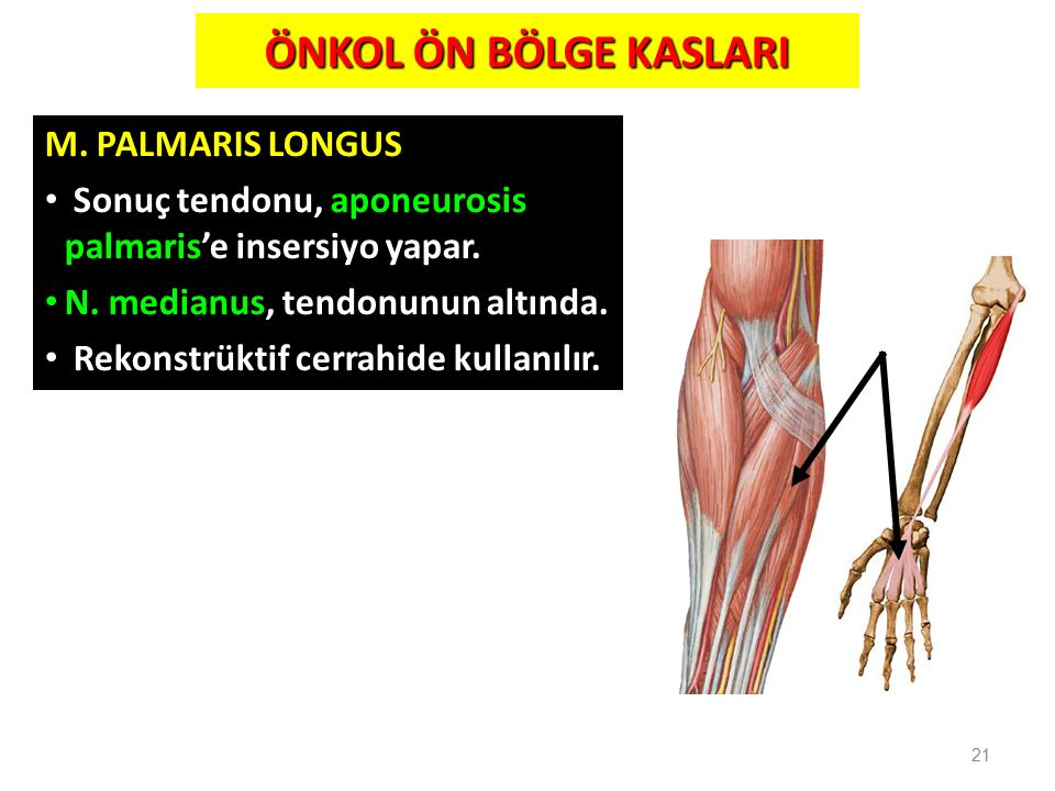21 M. PALMARIS LONGUS Sonuç tendonu, aponeurosis palmaris'e insersiyo yapar. N. medianus, tendonunun altında. Rekonstrüktif cerrahide kullanılır. ÖNKO