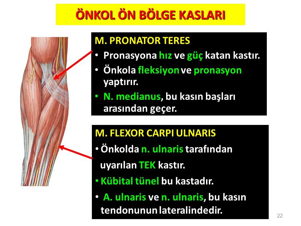 M. PRONATOR TERES Pronasyona hız ve güç katan kastır. Önkola fleksiyon ve pronasyon yaptırır. N. medianus, bu kasın başları arasından geçer. 22 M. FLE