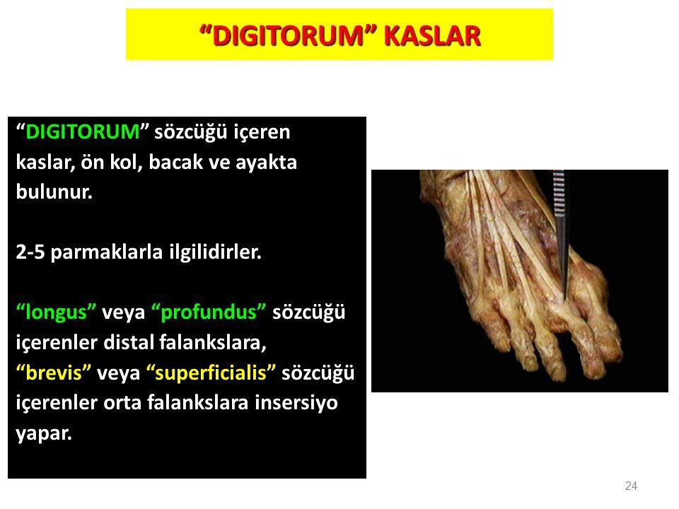 """""""DIGITORUM"""" KASLAR """"DIGITORUM"""" sözcüğü içeren kaslar, ön kol, bacak ve ayakta bulunur. 2-5 parmaklarla ilgilidirler. """"longus"""" veya """"profundus"""" sözcüğü"""