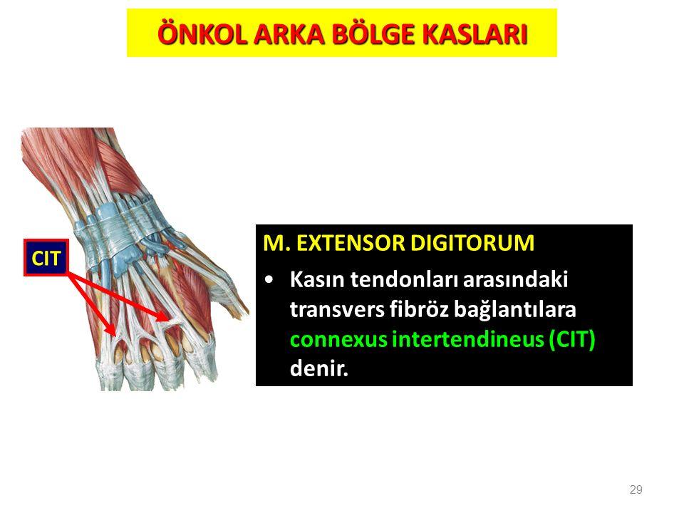29 M. EXTENSOR DIGITORUM Kasın tendonları arasındaki transvers fibröz bağlantılara connexus intertendineus (CIT) denir. CIT ÖNKOL ARKA BÖLGE KASLARI
