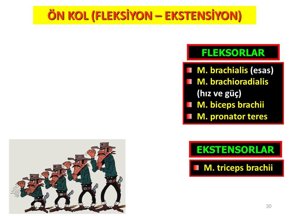 30 ÖN KOL (FLEKSİYON – EKSTENSİYON) FLEKSORLAR EKSTENSORLAR M. triceps brachii M. brachialis (esas) M. brachioradialis (hız ve güç) M. biceps brachii