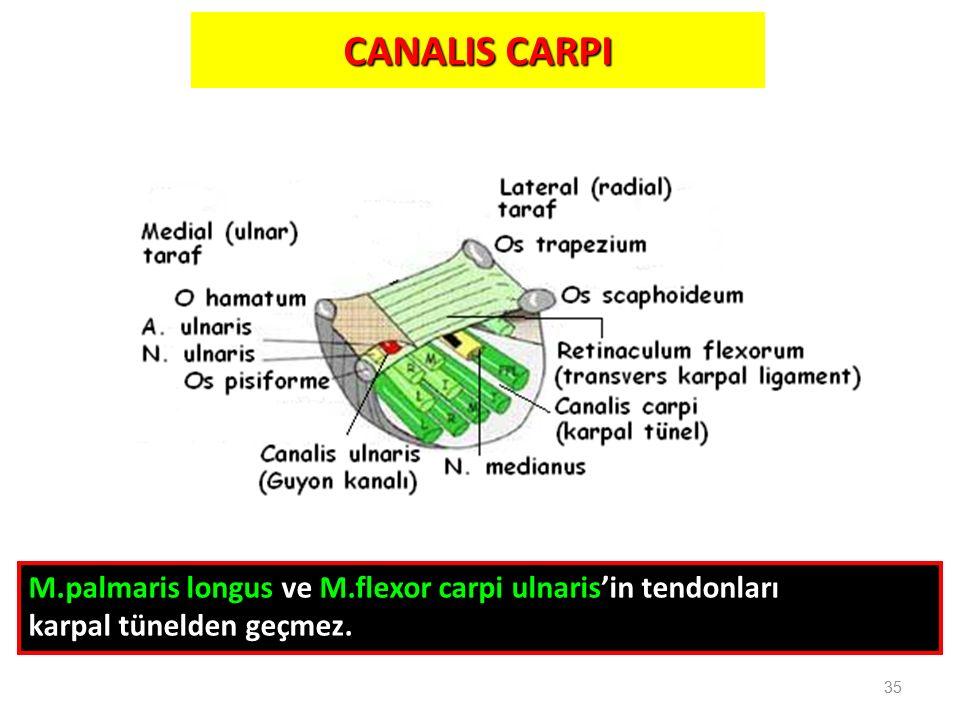 CANALIS CARPI 35 M.palmaris longus ve M.flexor carpi ulnaris'in tendonları karpal tünelden geçmez.