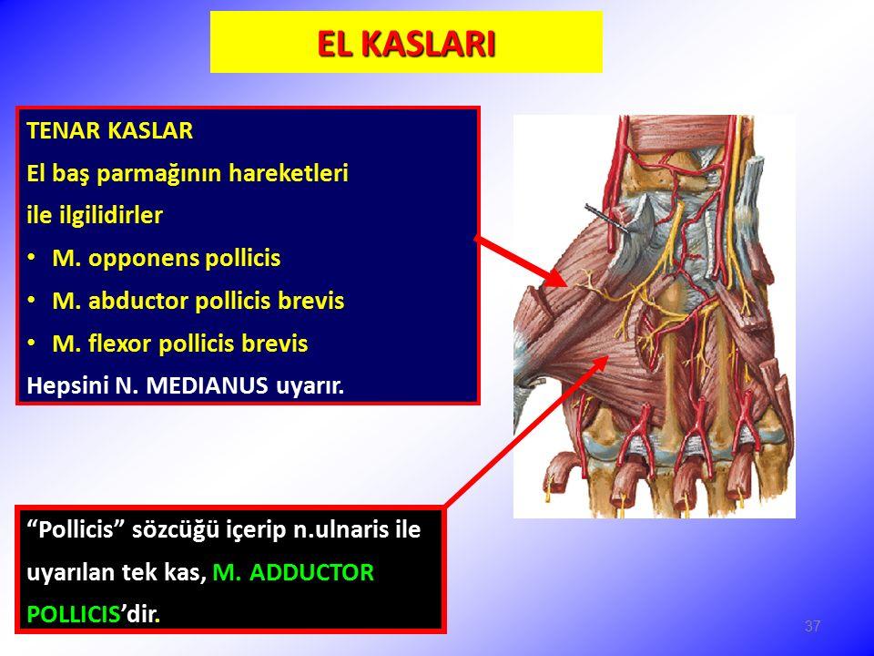 EL KASLARI TENAR KASLAR El baş parmağının hareketleri ile ilgilidirler M. opponens pollicis M. abductor pollicis brevis M. flexor pollicis brevis Heps