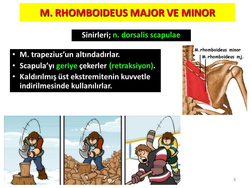 M. RHOMBOIDEUS MAJOR VE MINOR M. trapezius'un altındadırlar. Scapula'yı geriye çekerler (retraksiyon). Kaldırılmış üst ekstremitenin kuvvetle indirilm