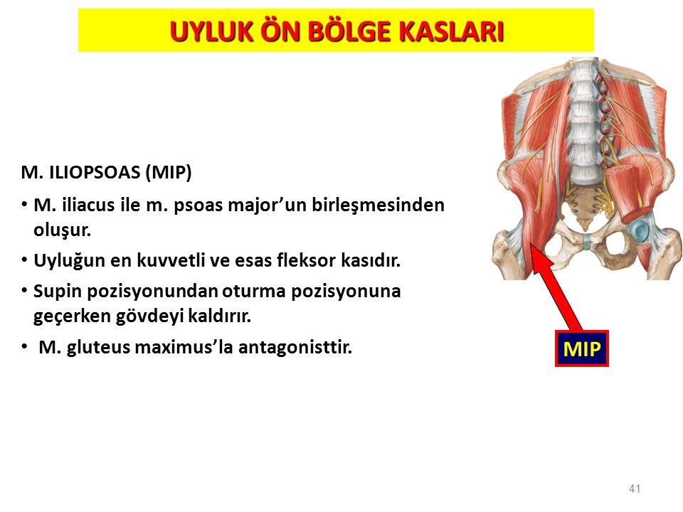 41 UYLUK ÖN BÖLGE KASLARI M. ILIOPSOAS (MIP) M. iliacus ile m. psoas major'un birleşmesinden oluşur. Uyluğun en kuvvetli ve esas fleksor kasıdır. Supi