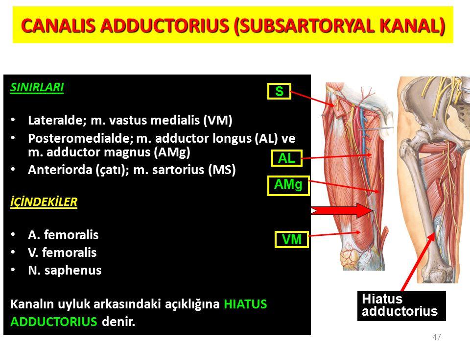 CANALIS ADDUCTORIUS (SUBSARTORYAL KANAL) SINIRLARI Lateralde; m. vastus medialis (VM) Posteromedialde; m. adductor longus (AL) ve m. adductor magnus (
