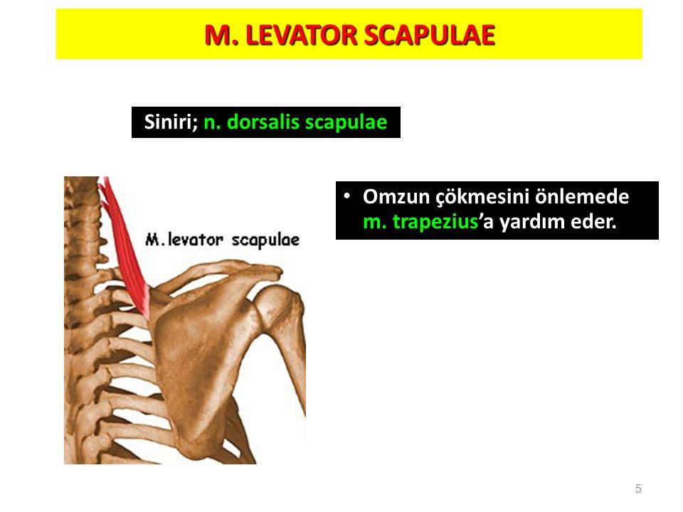M. LEVATOR SCAPULAE 5 Omzun çökmesini önlemede m. trapezius'a yardım eder. Siniri; n. dorsalis scapulae